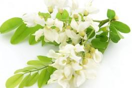 acacia-in-fiore